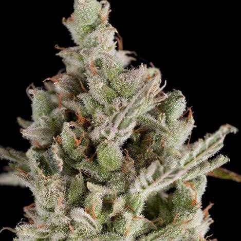 Sweet Madness Auto Semilla de marihuana autofloreciente