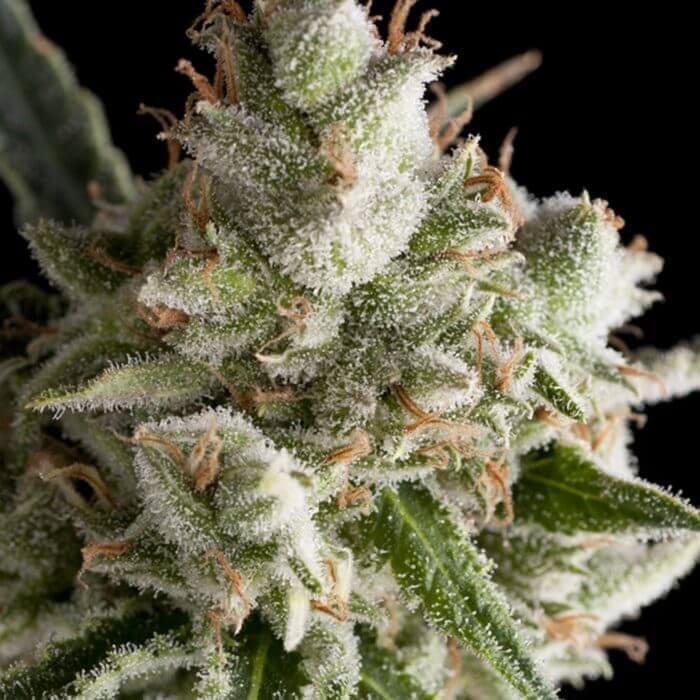 The Palmar Auto Medizinische Marihuanasamen von Trikoma Seeds